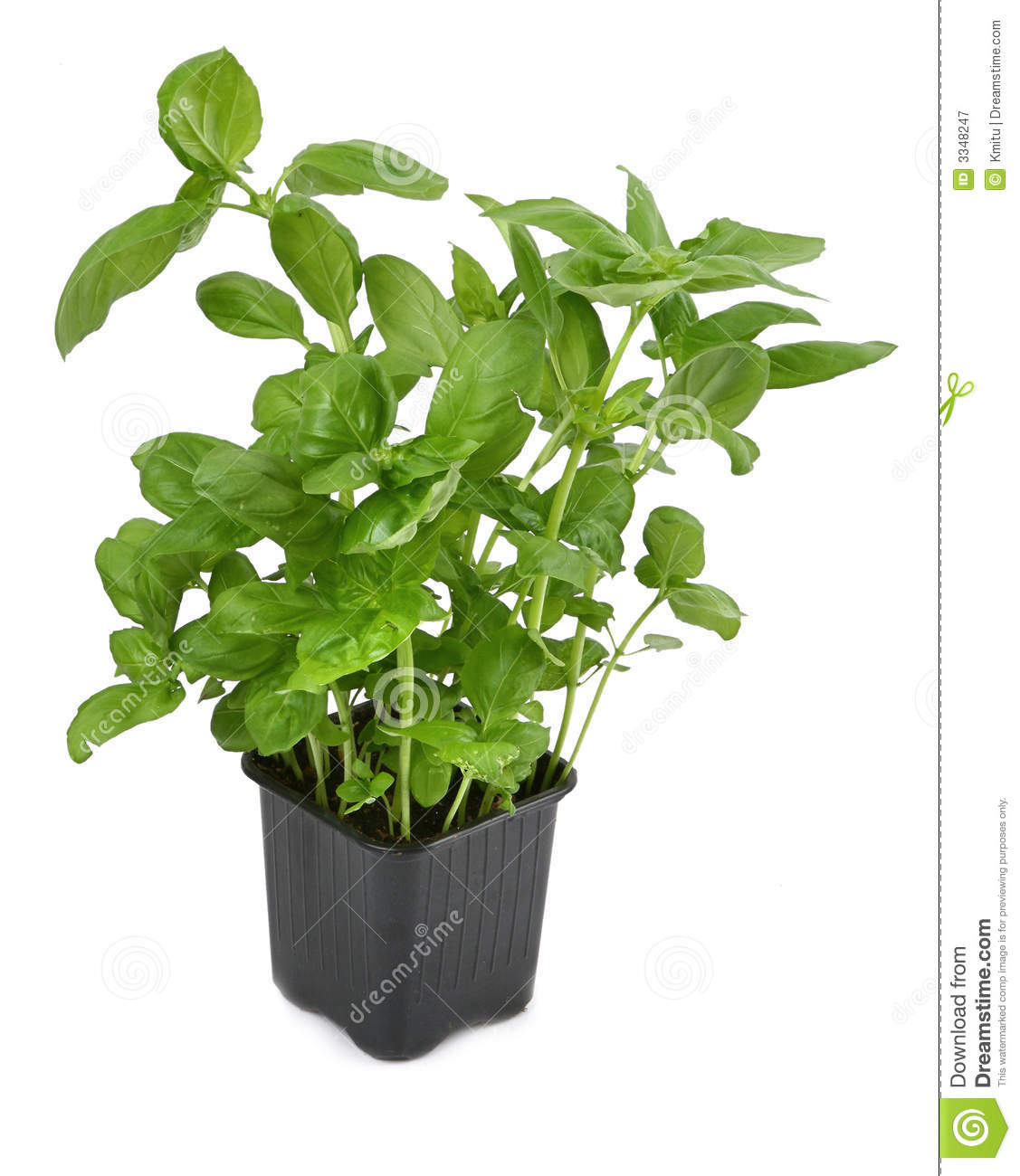fresh basil plant in pot royalty free stock photography image 3348247. Black Bedroom Furniture Sets. Home Design Ideas