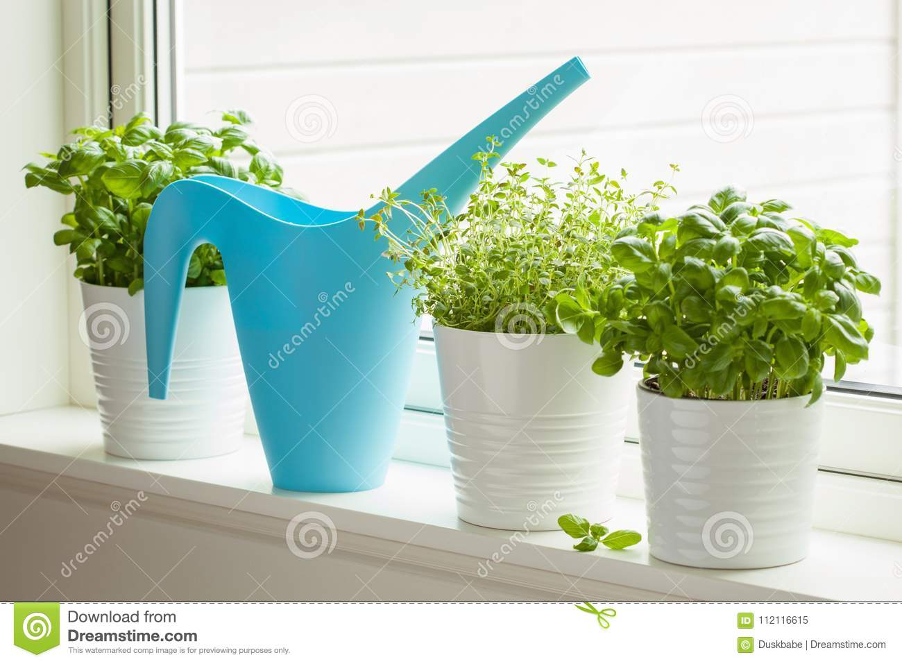 Fresh basil and thyme herbs in flowerpot on window, watering can