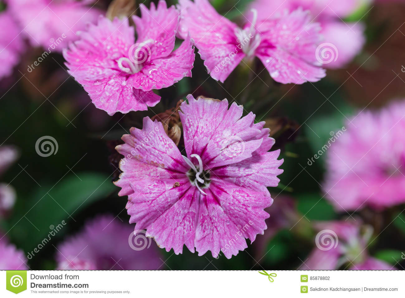 Fresh Beautiful Flowers Small Cloves Stock Photo Image Of Green