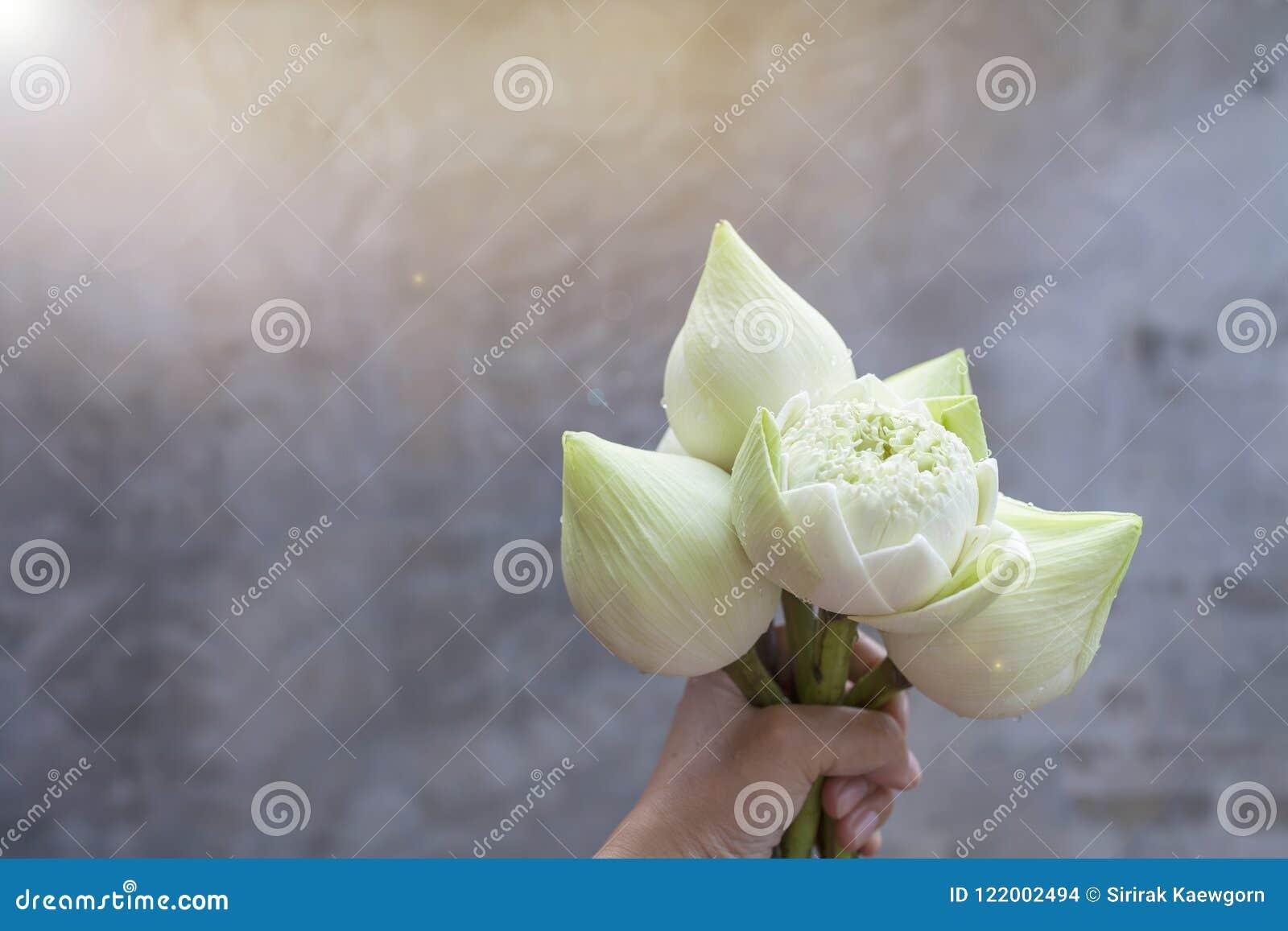 Fresh beautiful white lotus flower in girl hand with vintage warm fresh beautiful white lotus flower in girl hand with vintage warm light over blurred grey background izmirmasajfo