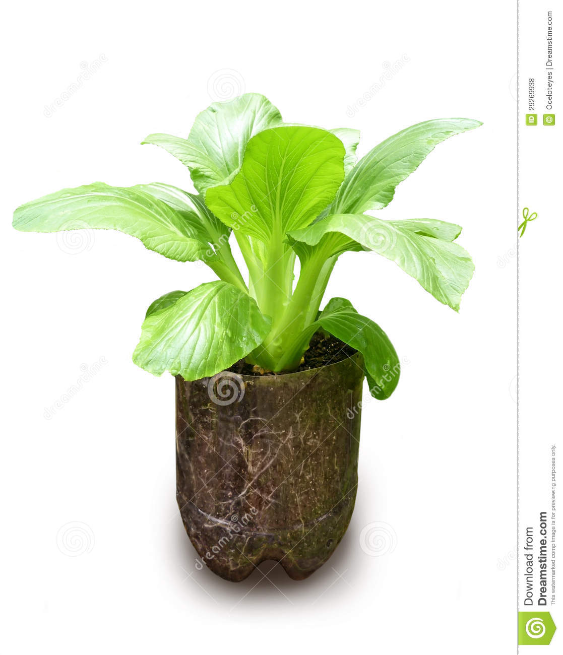 Fresh Bok Choy Plant Growing In Recycled Container Stock Photo