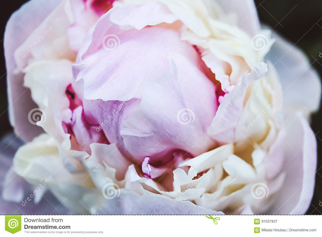 Fresh Bright Blooming Peonies Flowers White And Pink Bud Stock