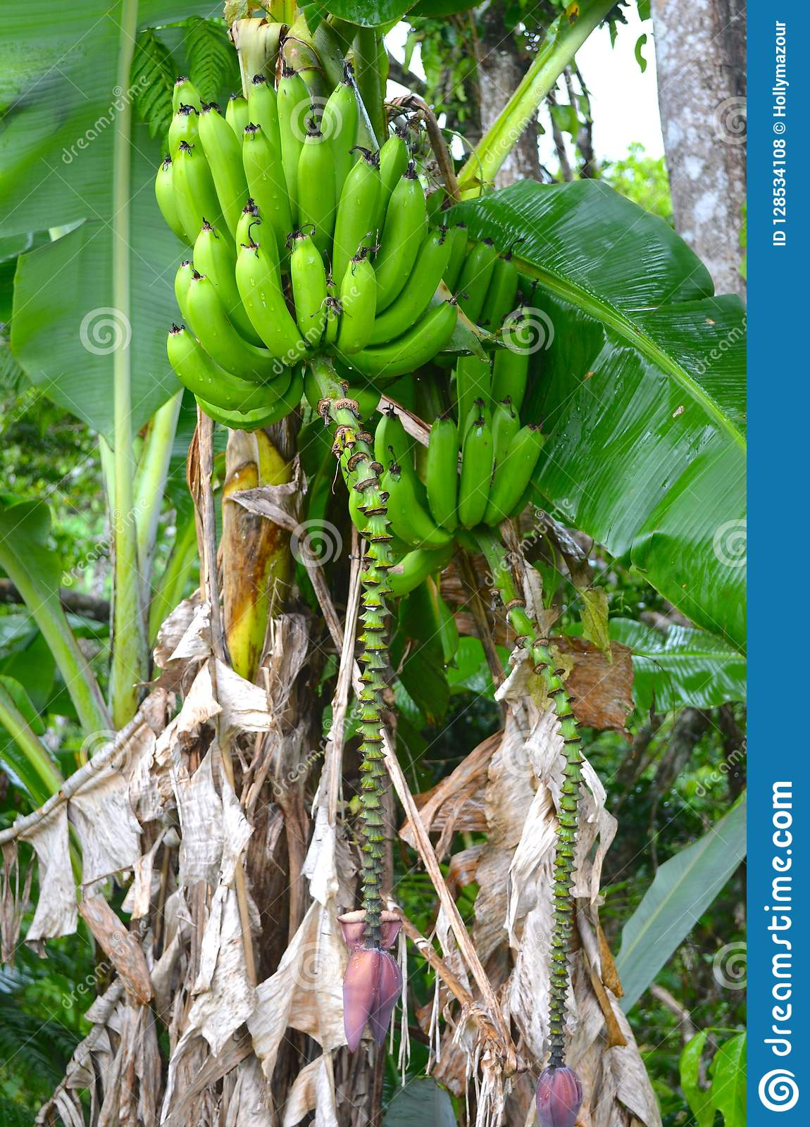 Fresh Bright Green Bananas Growing On Puerto Rican Farm ...