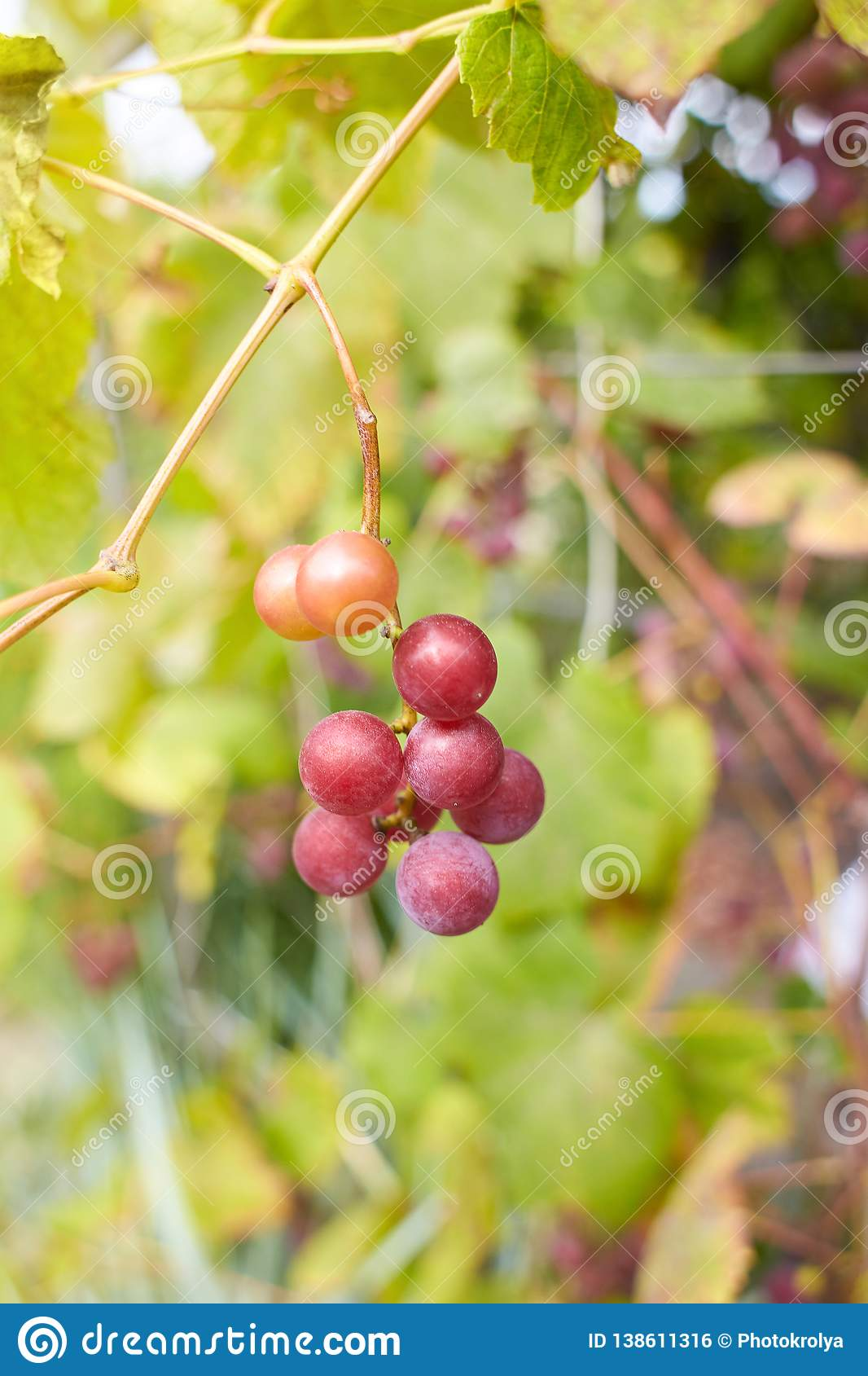 Fresh brunch of purple grapes in vineyard on blurred nature background.