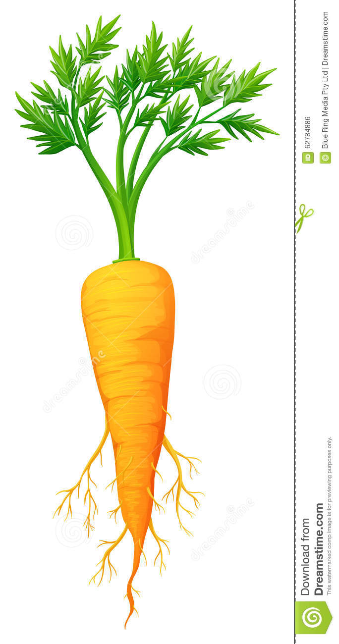 fresh carrot with leaves and root stock vector image carrot clipart pic carrot clipart png