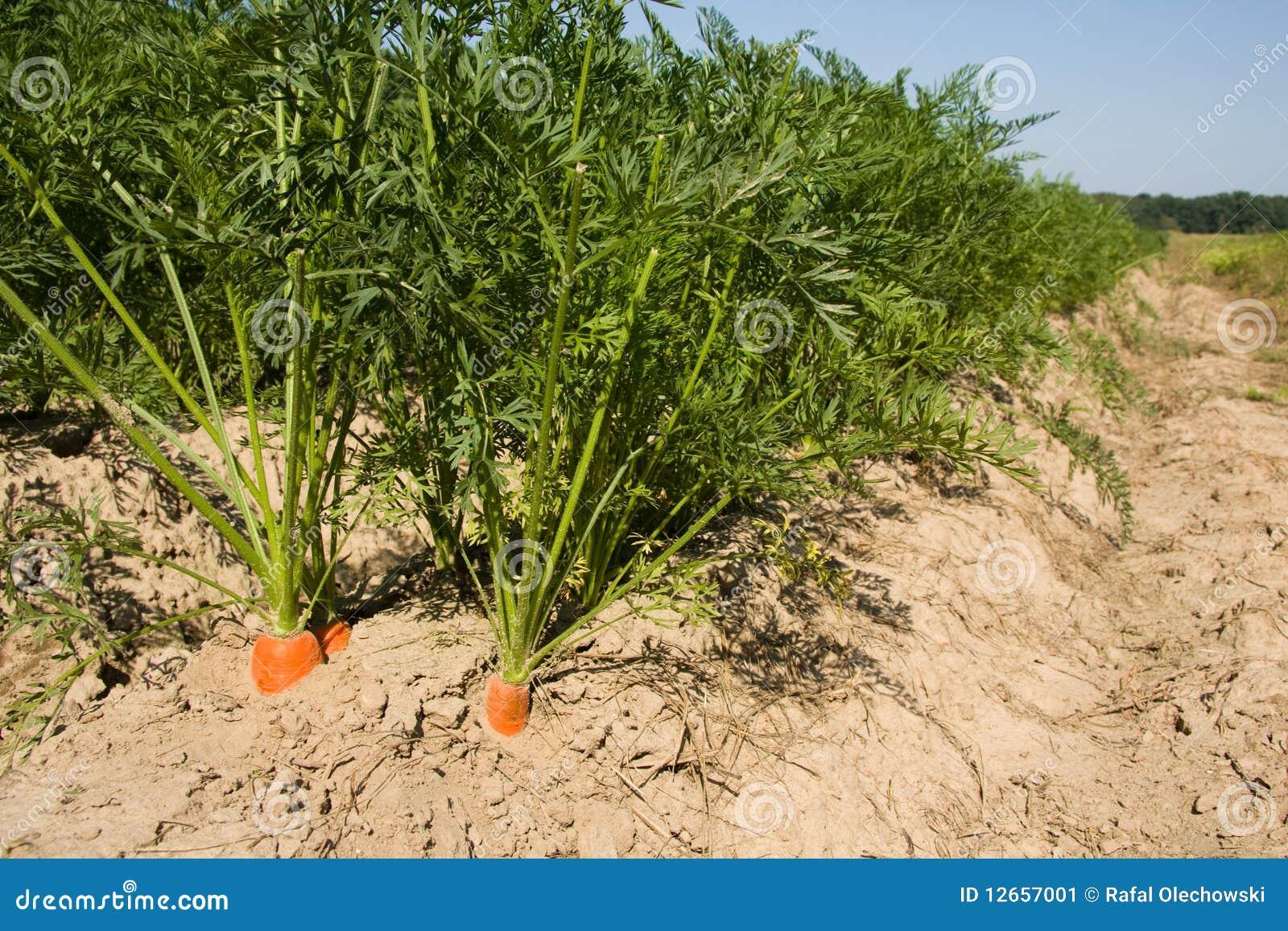 Carrot Field In Denmark - YouTube