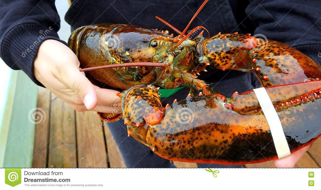 Fresh caught maine lobster stock photo image 78952701 for Best time to visit maine for lobster
