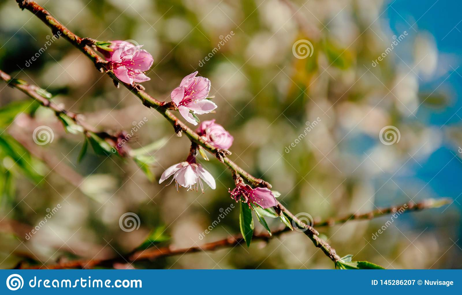 Fresh cherry blossom on its branch in spring season