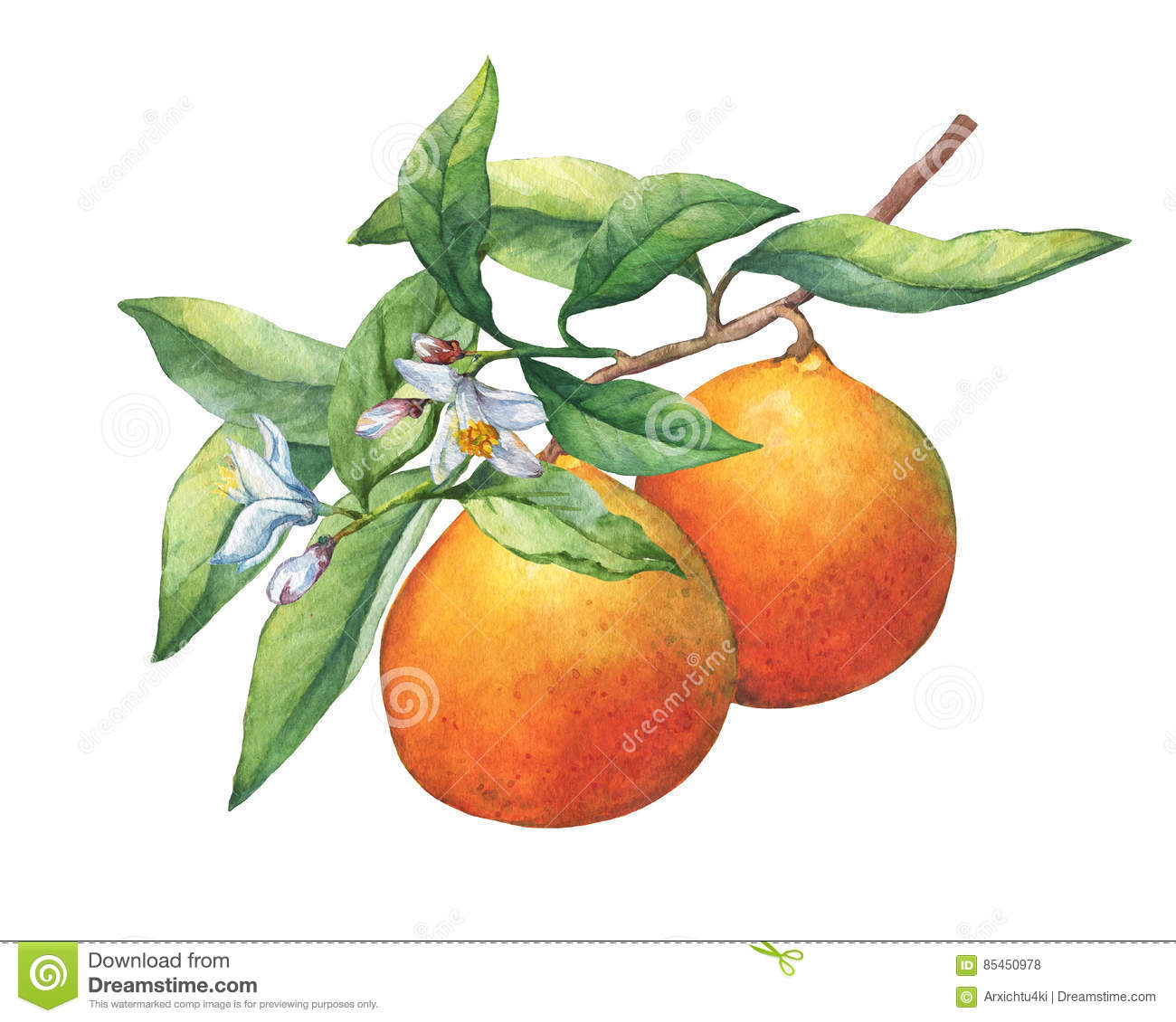Fresh citrus fruit oranges on a branch with fruits, green leaves, buds and flowers.