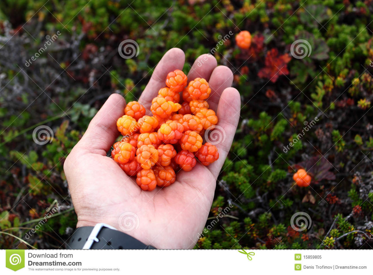 fresh cloudberries in hand royalty free stock photo image 15859805. Black Bedroom Furniture Sets. Home Design Ideas