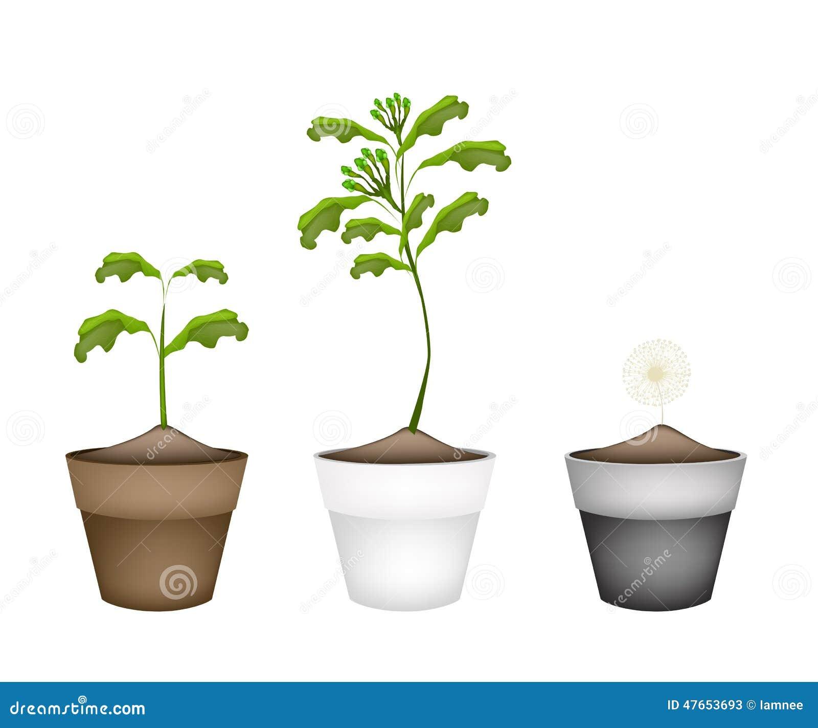 Fresh Clove Plant In Ceramic Flower Pots Stock Vector - Illustration