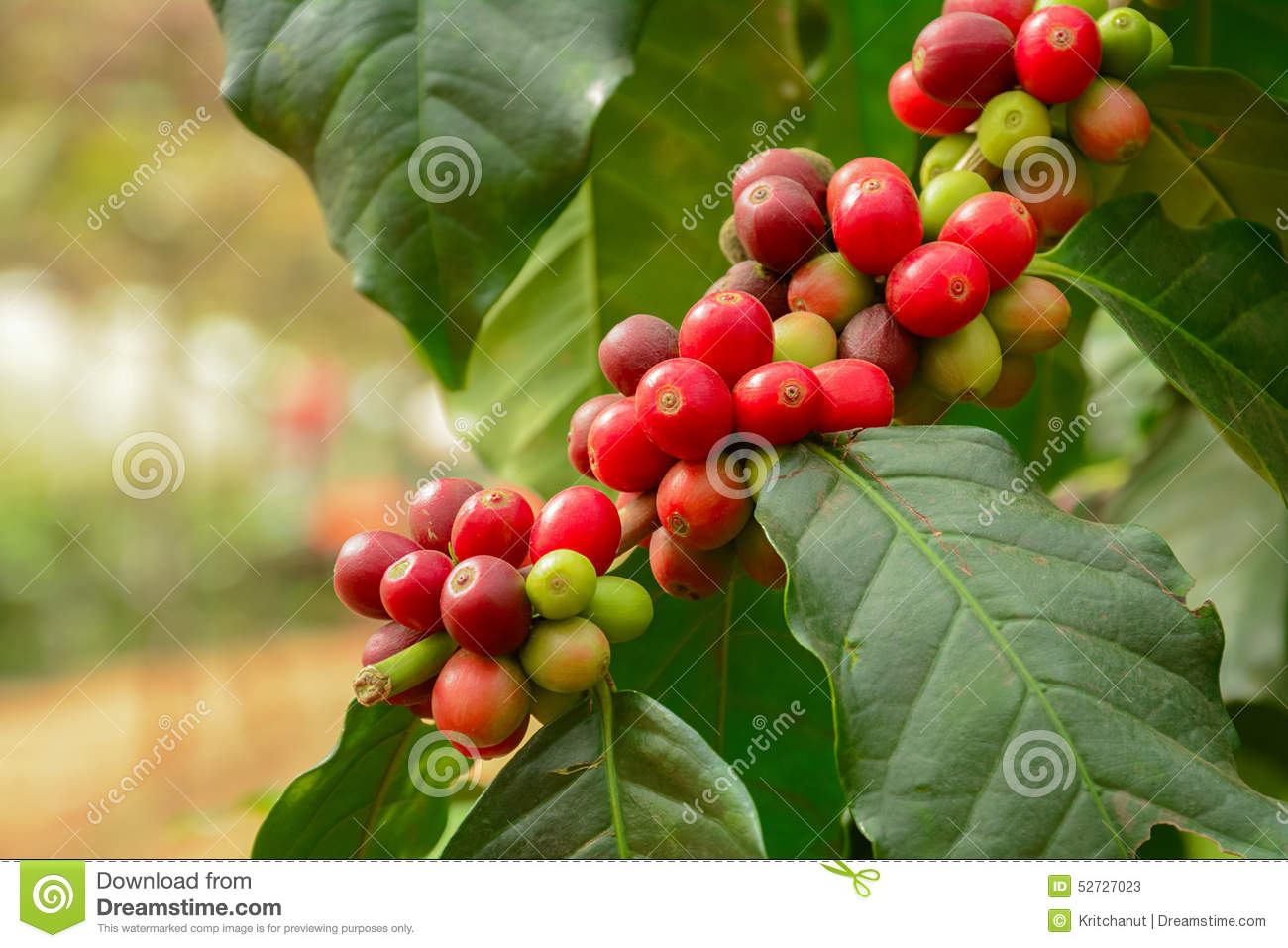 how to prepare coffee from plant to bean