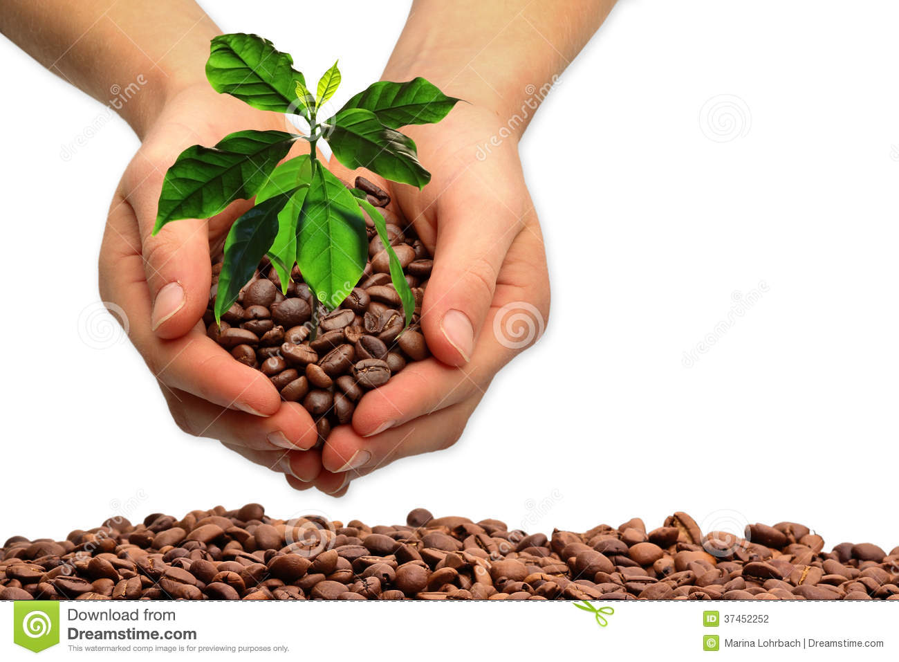fresh coffee beans coffee plant stock photography image. Black Bedroom Furniture Sets. Home Design Ideas