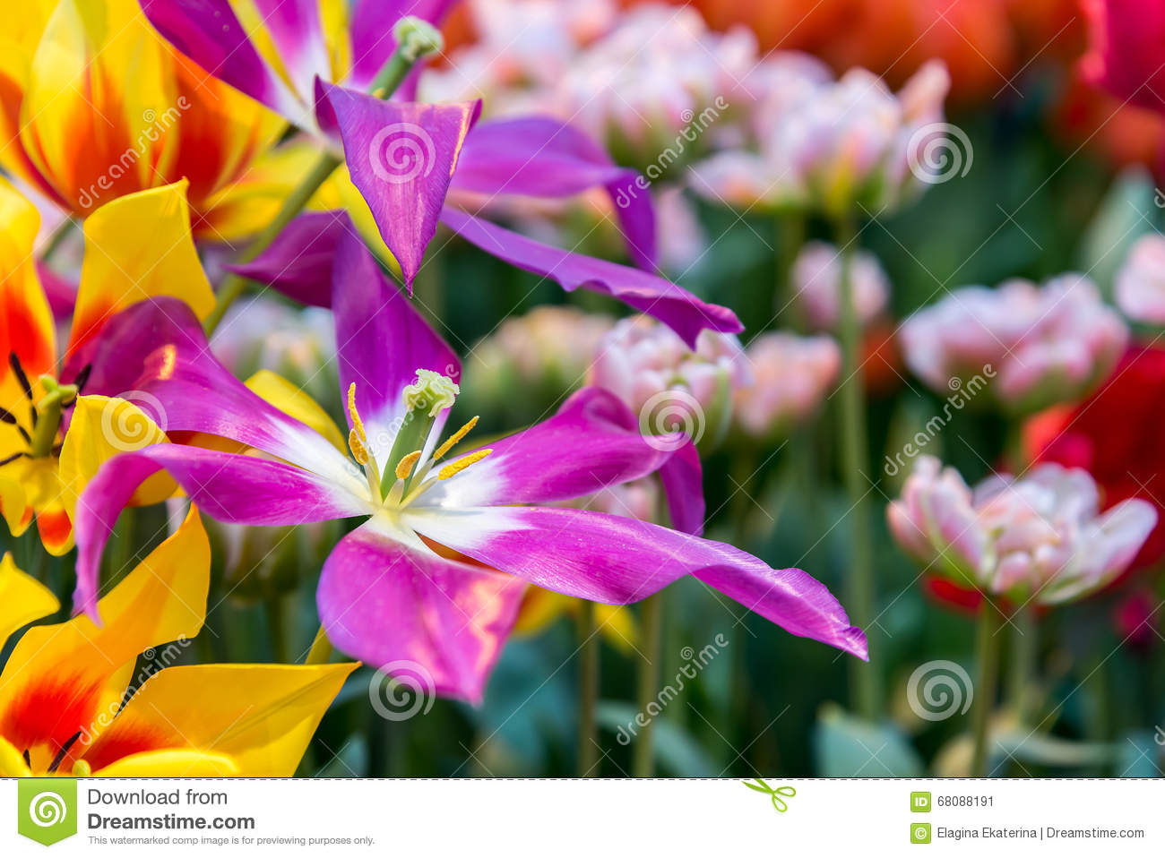 Fresh Colorful Tulip Flowers In Sunny Spring Day Stock Image Image