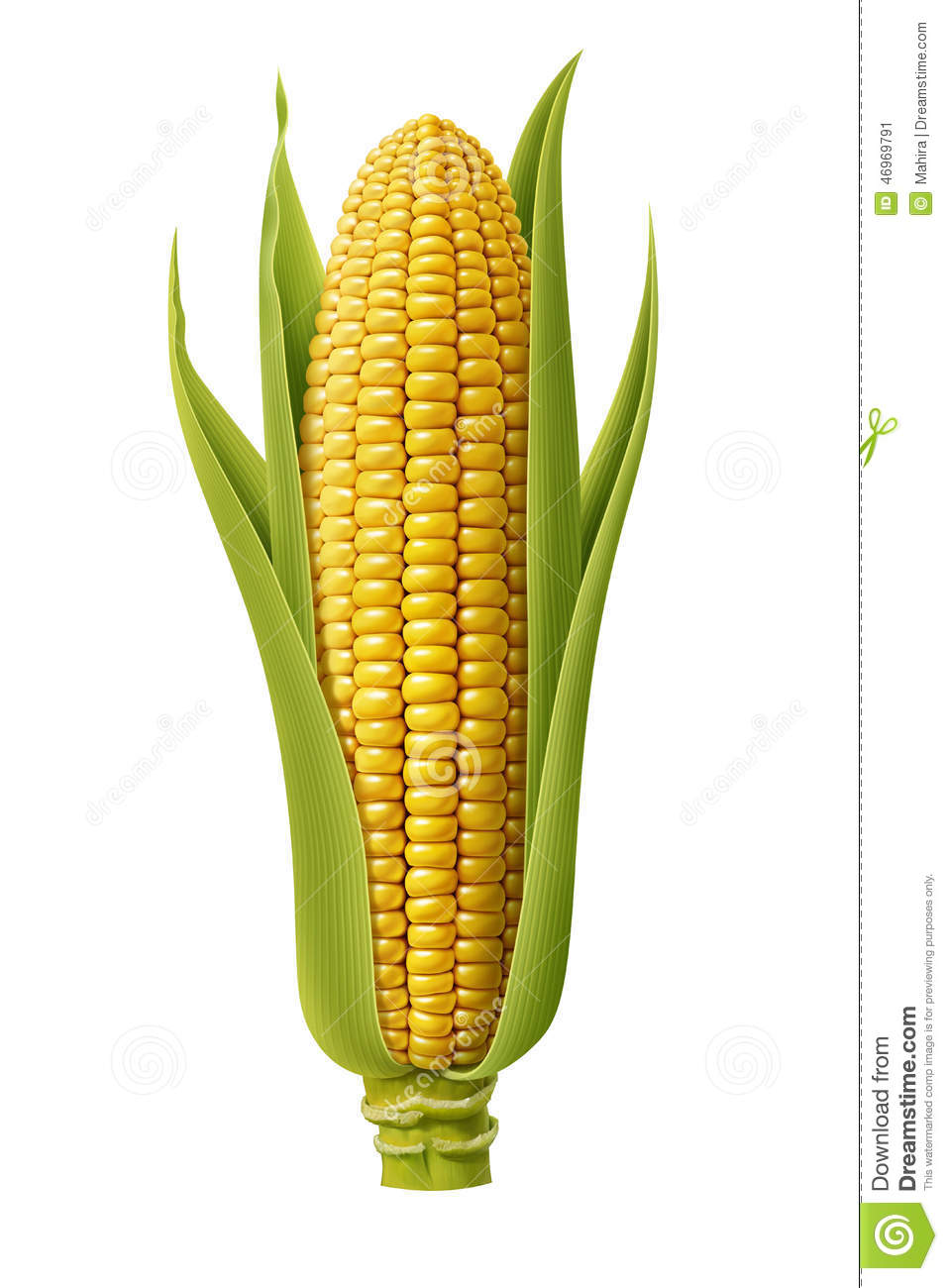 Fresh Corn Stock Illustration - Image: 46969791
