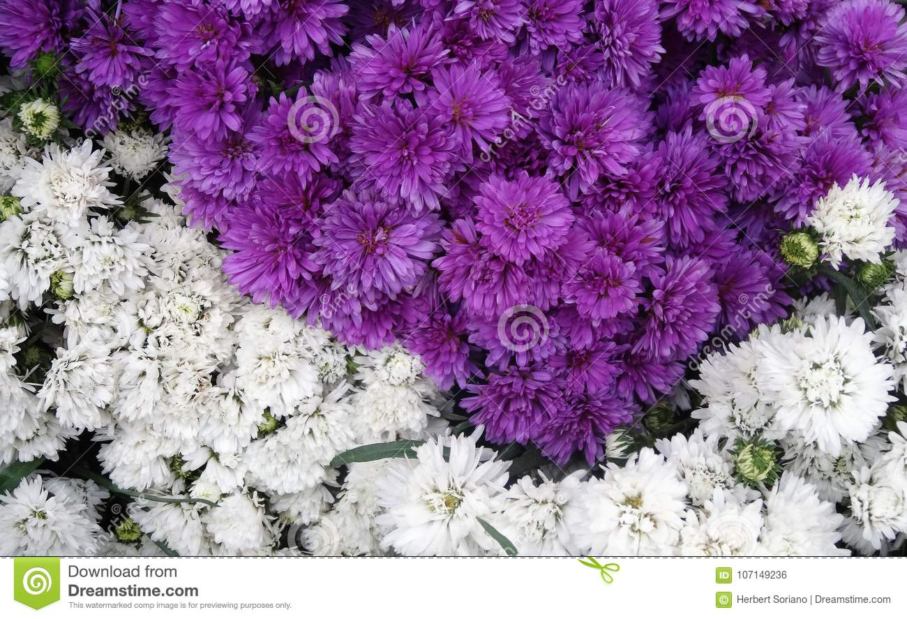 Combination Of Violet And White Flowers Stock Photo Image Of