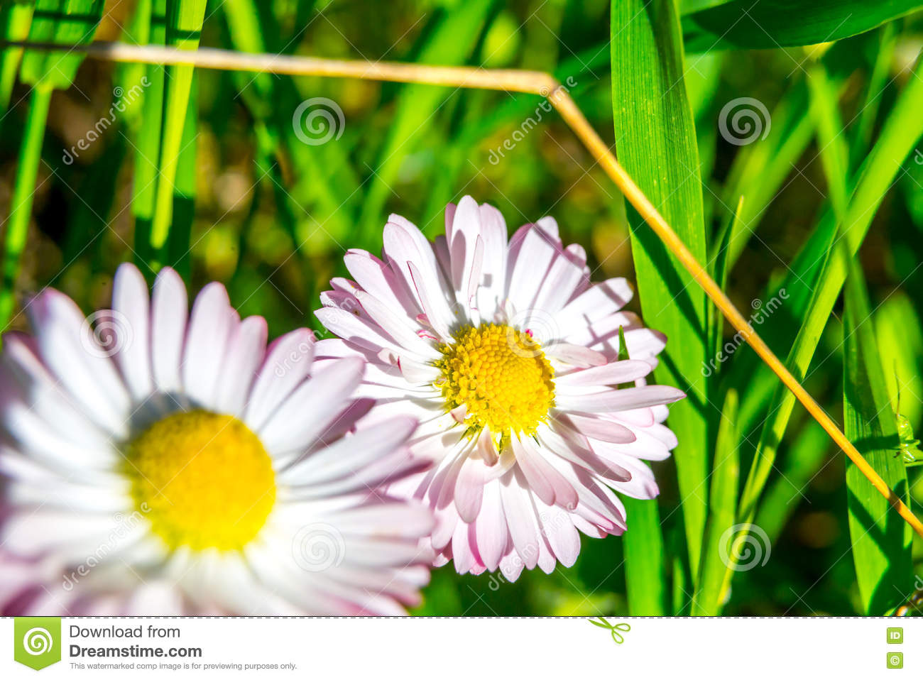 Fresh Daisy Flowers With Pink Edges Stock Photo Image Of Beauty