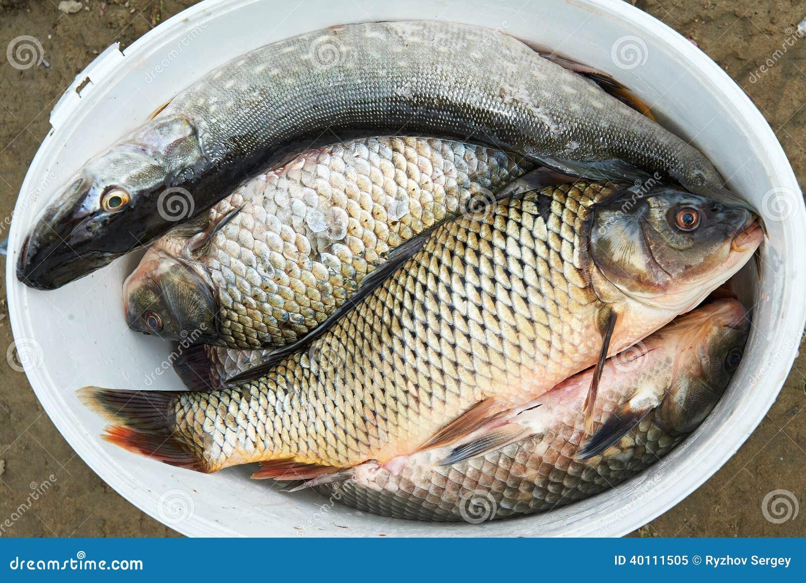 Fresh fish pike and carp stock photo image 40111505 for Bucket of fish