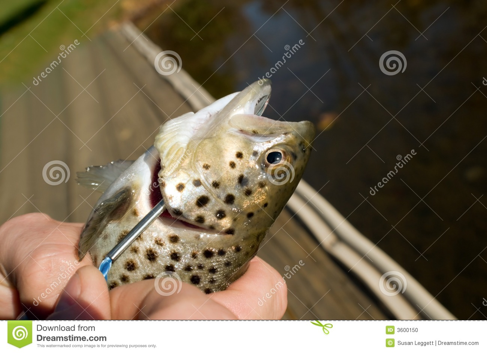 Fresh fish put on stringer
