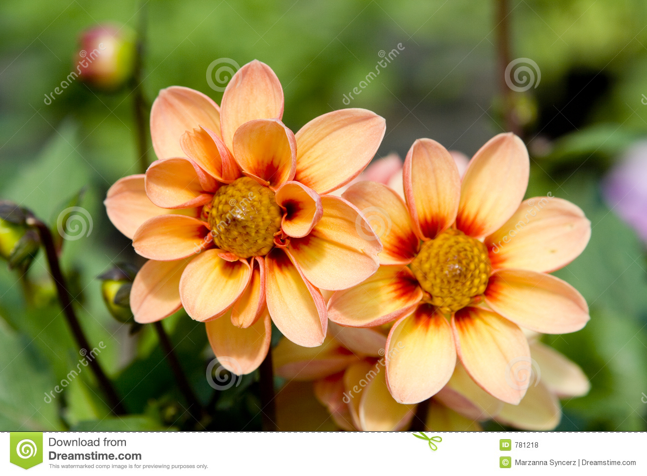 Fresh Flowers Stock Photo Image Of Fresh Plant Horticultural 781218