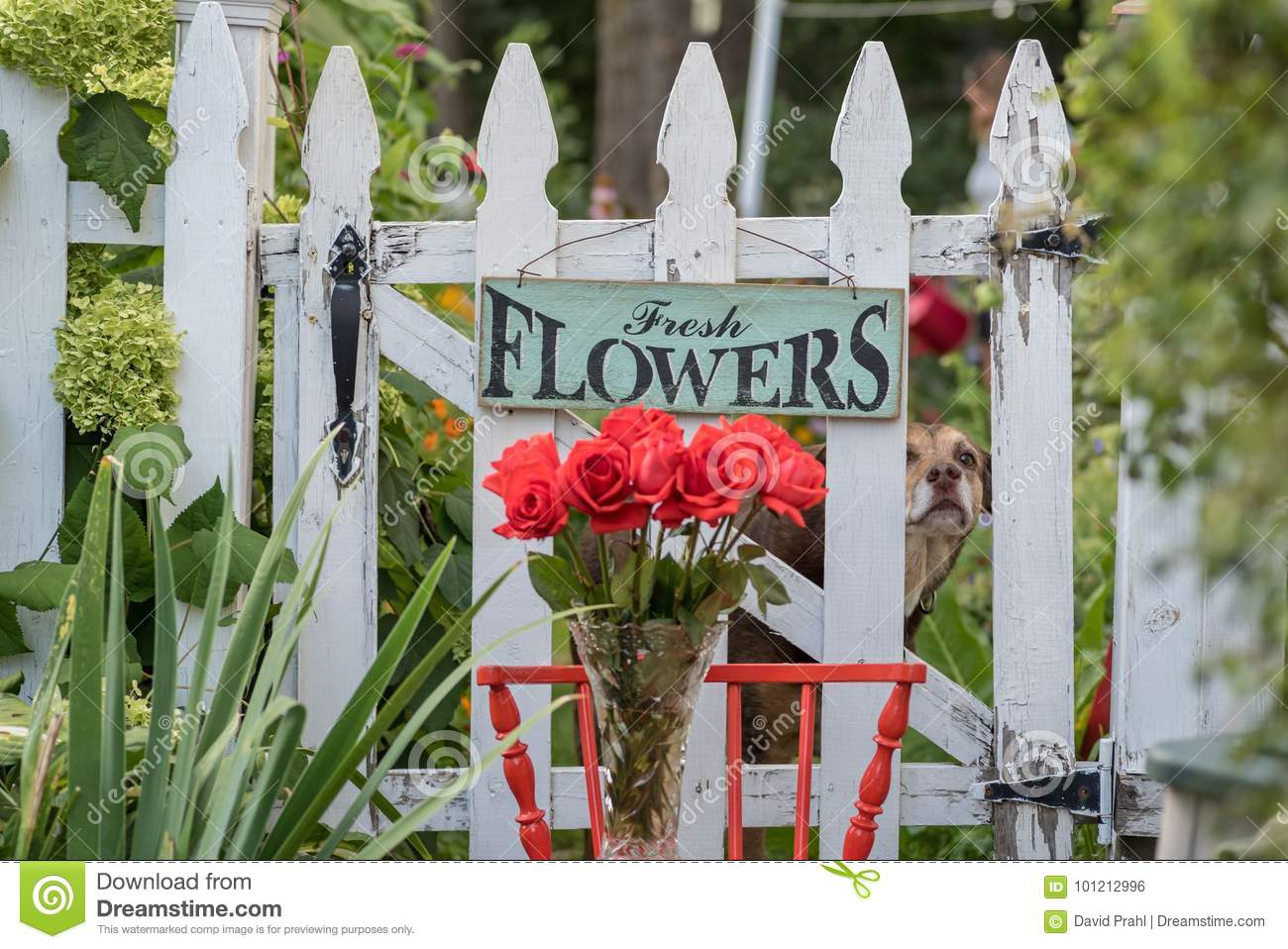 Fresh flowers sign hanging on fence stock photo image of decor roses and white picket fence with fresh flowers sign in backyard garden mightylinksfo