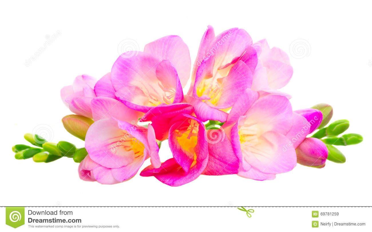 Fresh freesia flowers stock image image of decoration 69781259 fresh freesia flowers mightylinksfo