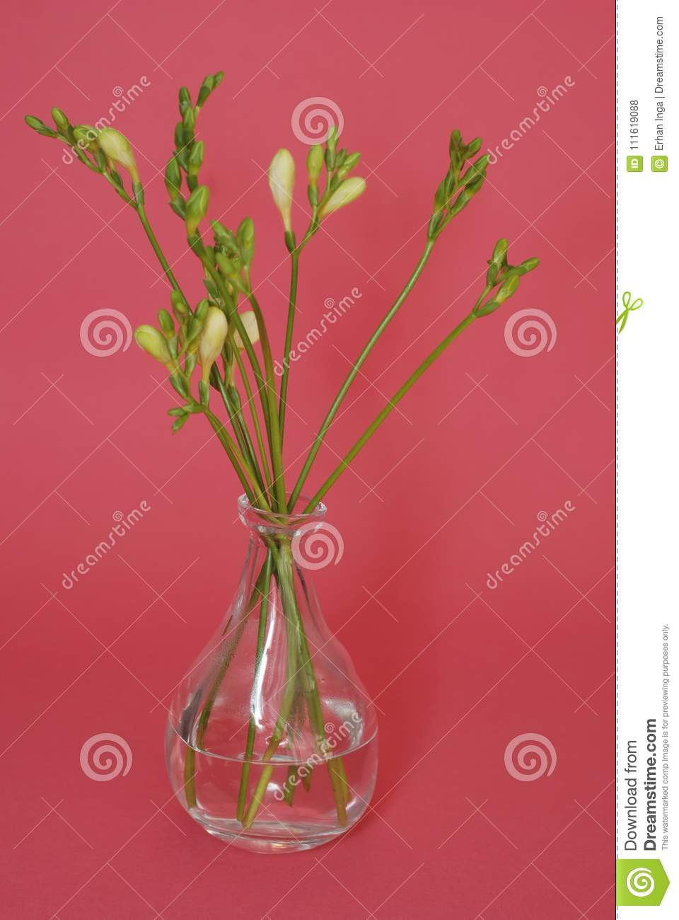 Fresh Freesia Green buds in Glass Vase isolated on Pink Rose background. Spring Background.