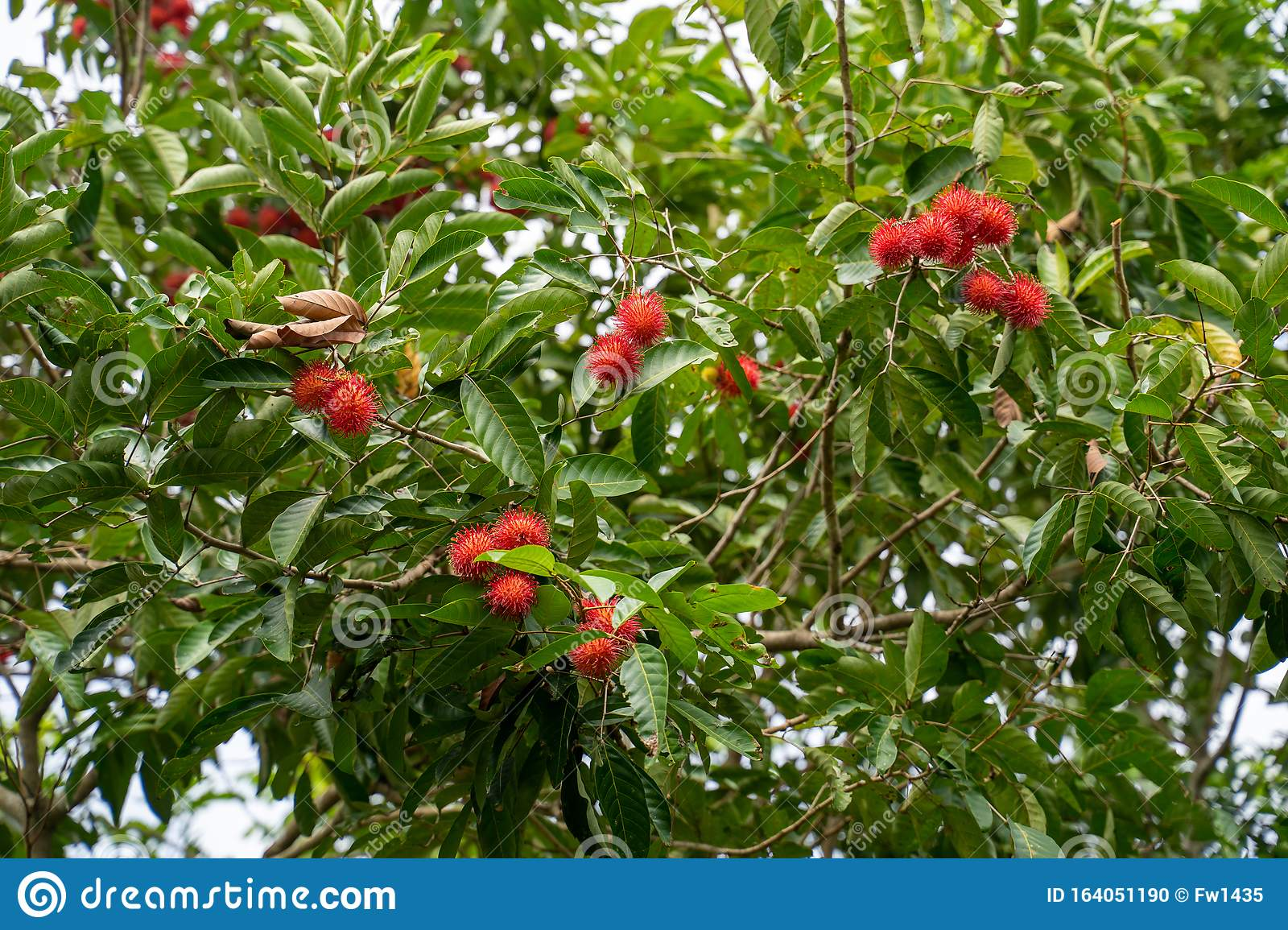 A Fresh Fruit Rambutan And Leaf On The Rambutan Tree In ...