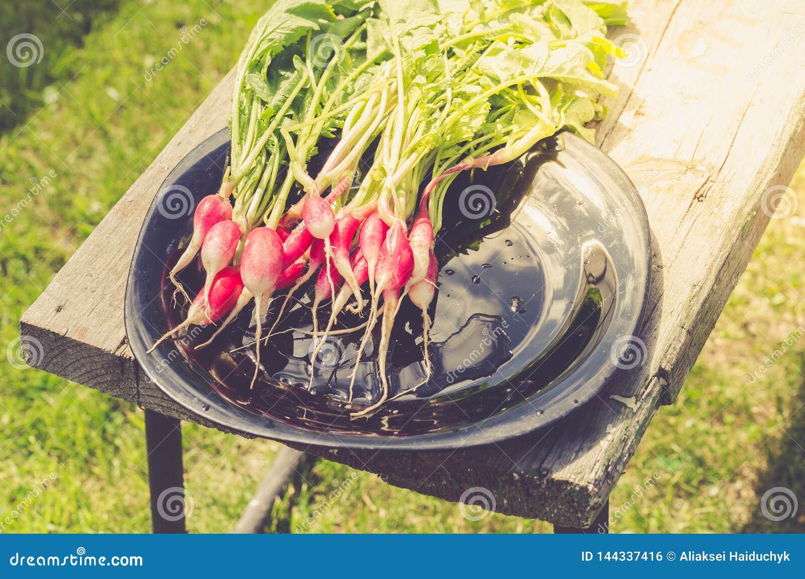 fresh garden radish in a garden/fresh radish in a black bowl in the open air. Top view