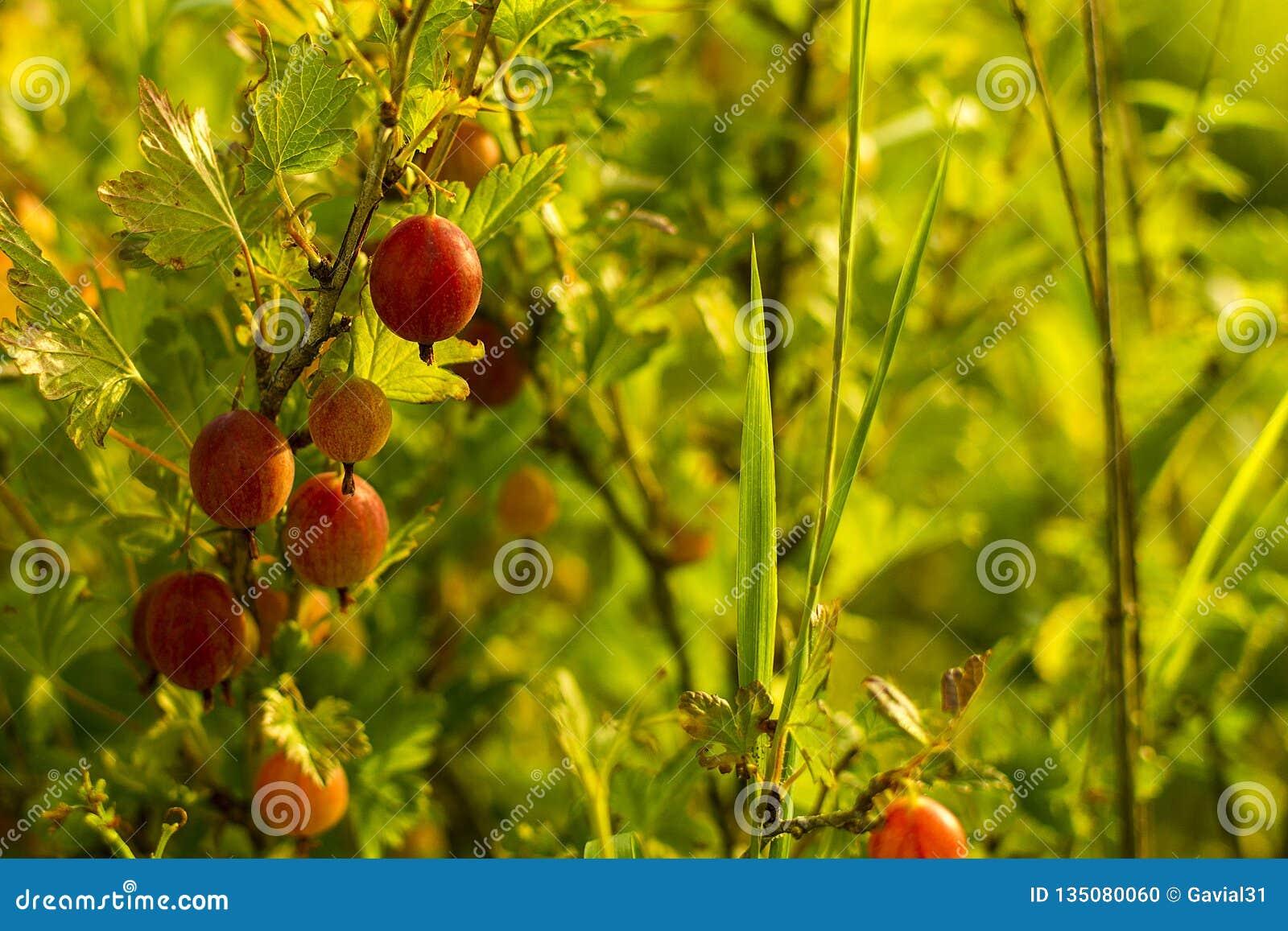 Fresh gooseberries on a branch of gooseberry bush with sunlight.