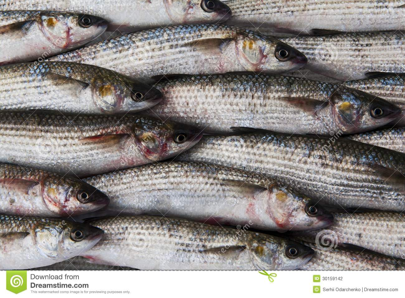 Fresh gray mullet fish at the market stock photography for Eating mullet fish