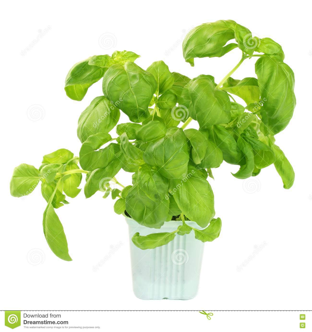 how to cut fresh basil from plant