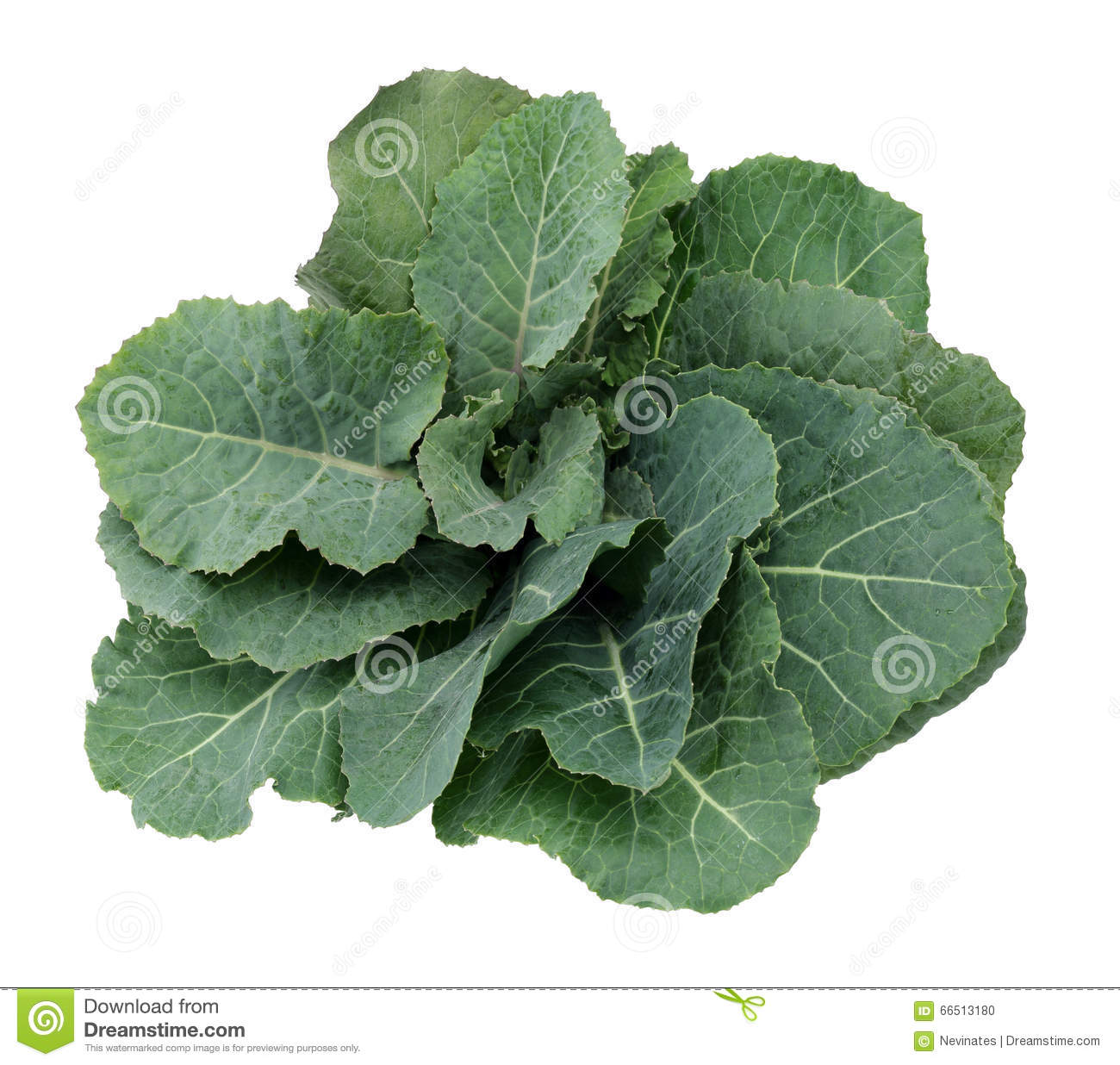 Fresh Green Cabbage Leaf stock photo. Image of ample ...