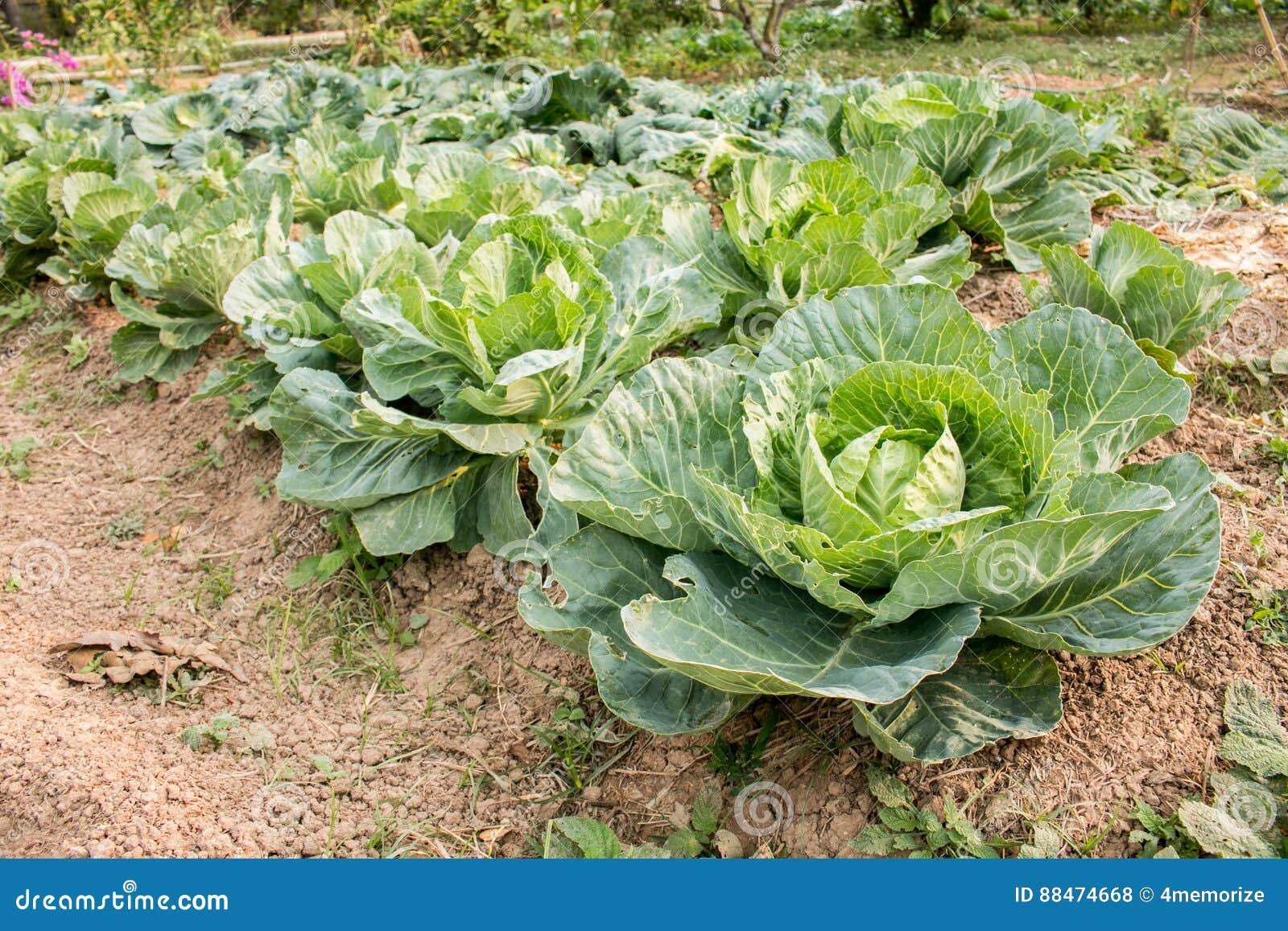 fresh green cabbage, organic vegetables in backyard garden stock