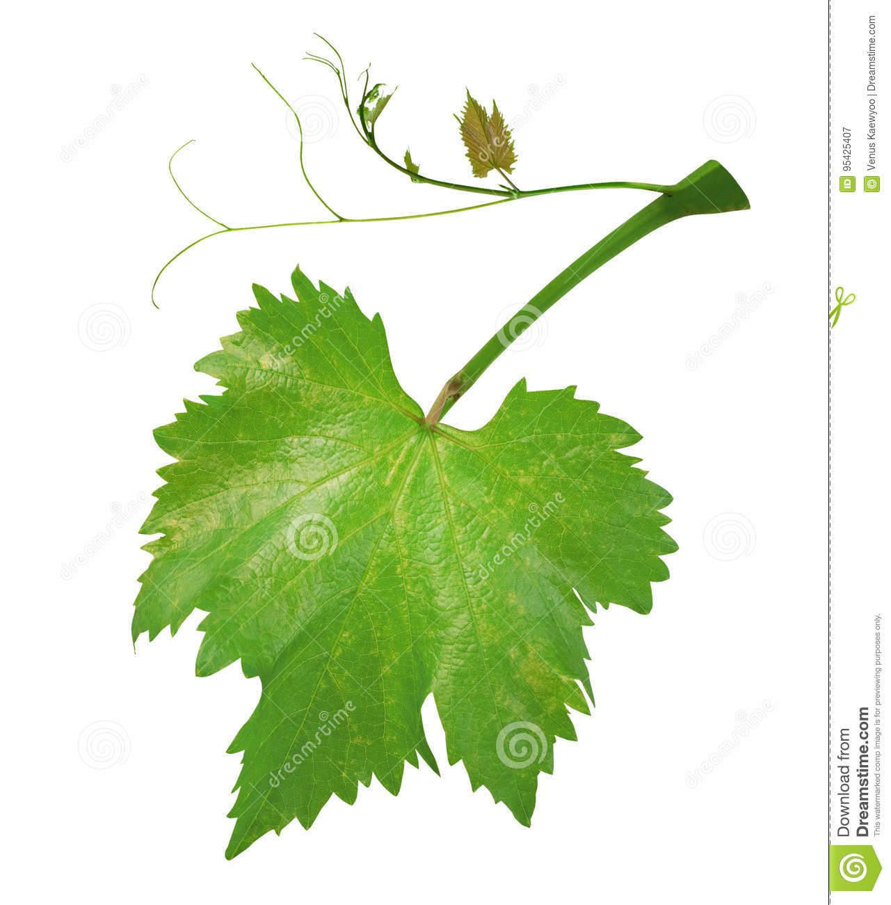 Fresh green grape leaves on branch with tendrils isolated on white background, path