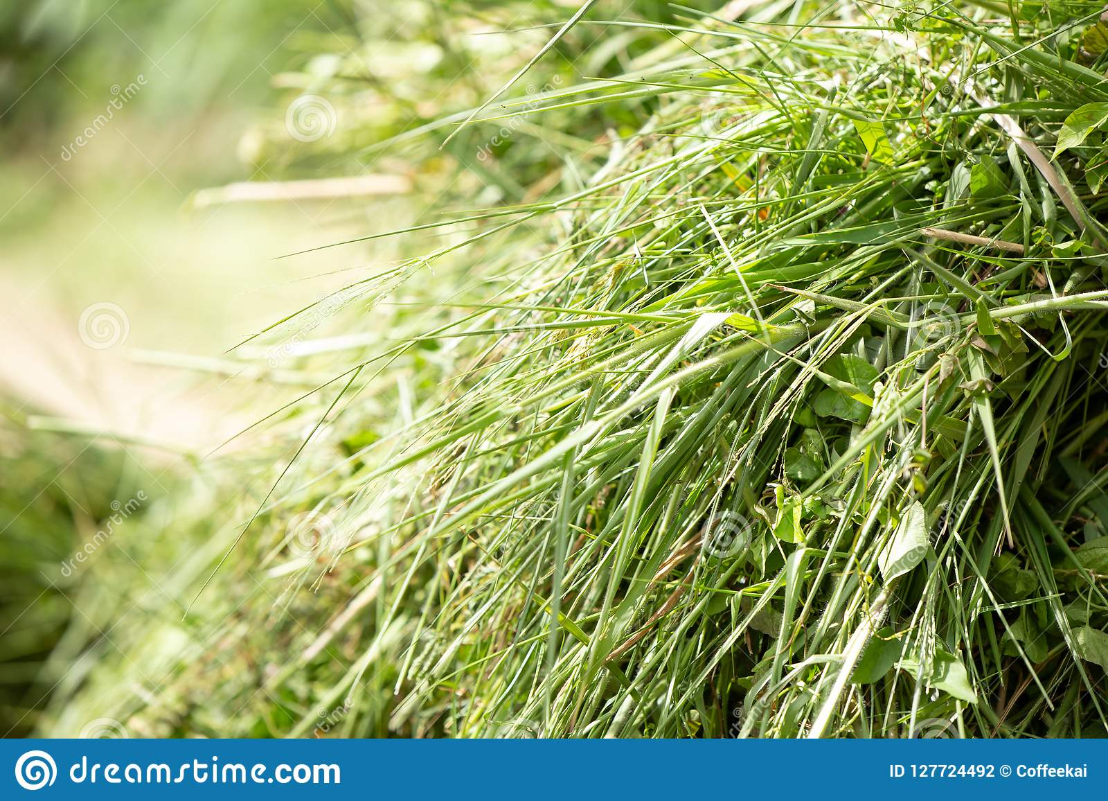 Fresh green grass for cows or animal feed