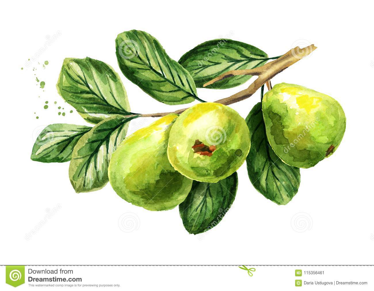 Fresh green guava branch with fruits, leaves and flowers. Watercolor hand drawn illustration, isolated on white background.