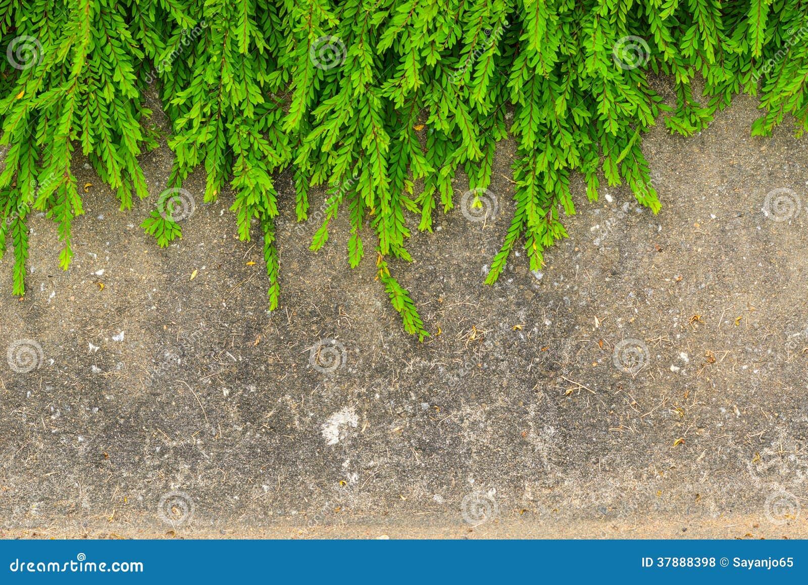 Fresh green leaf plant on grunge wall background.