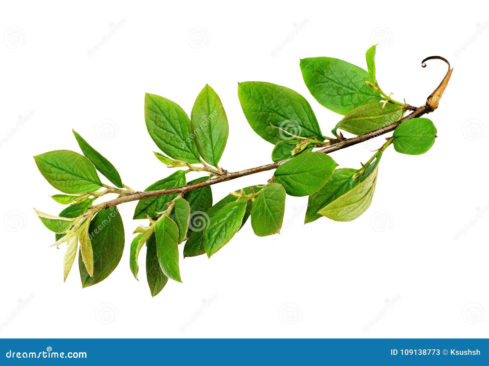 Fresh green leaves branch