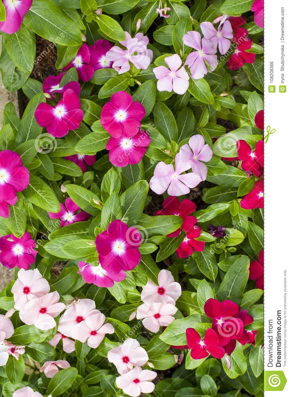 Fresh Green Leaves Of A Plant With White Pink And Red Flowers Stock