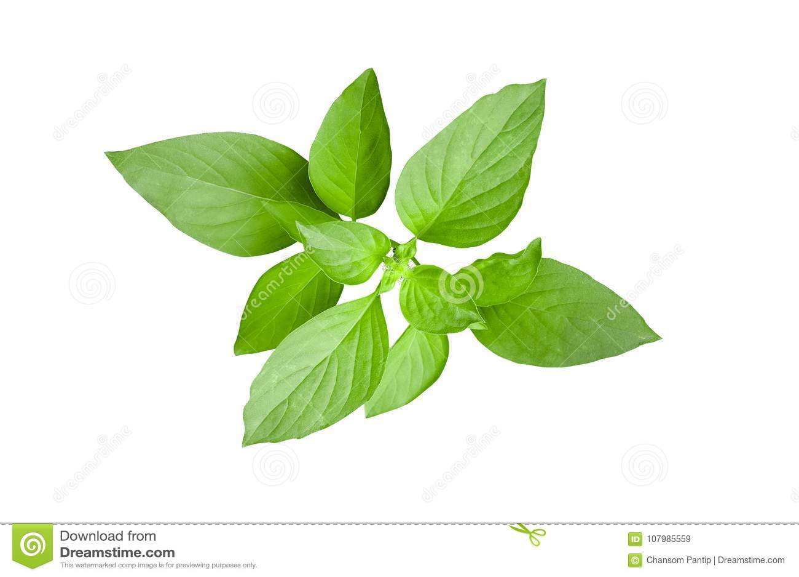 Fresh green leaves of Thai lemon basil or hoary basil tropical h
