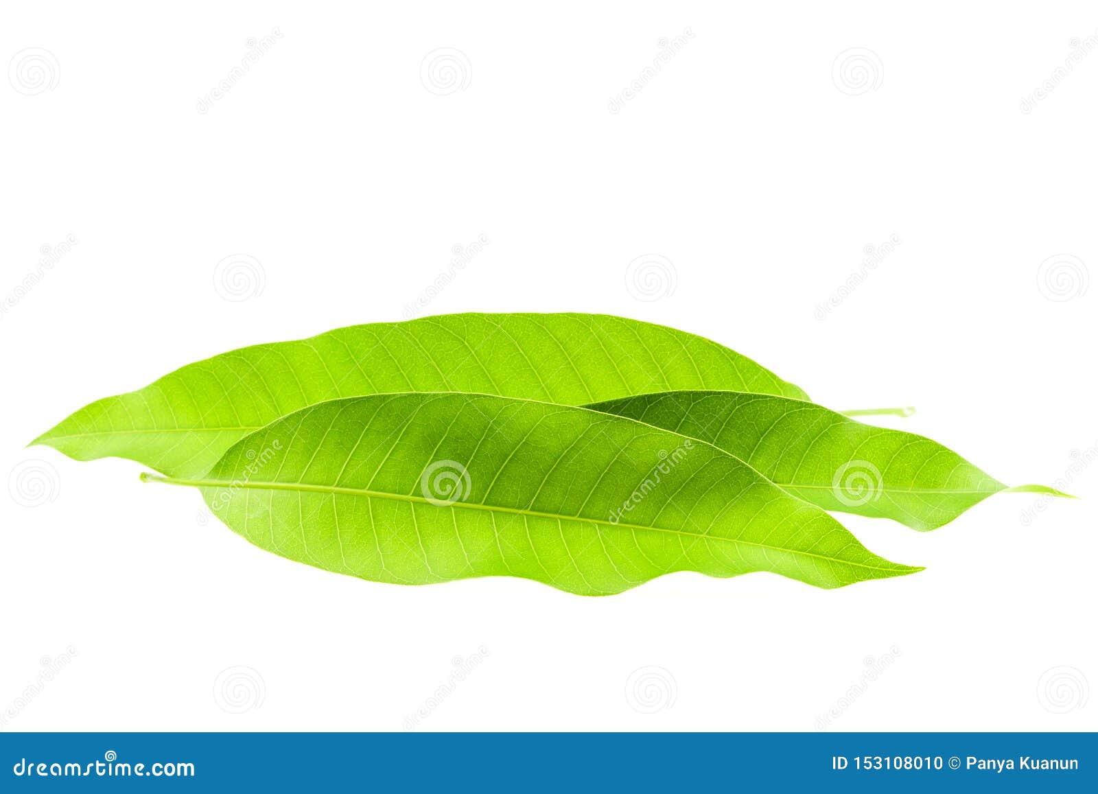 Fresh Green Mango leaves isolated on white background