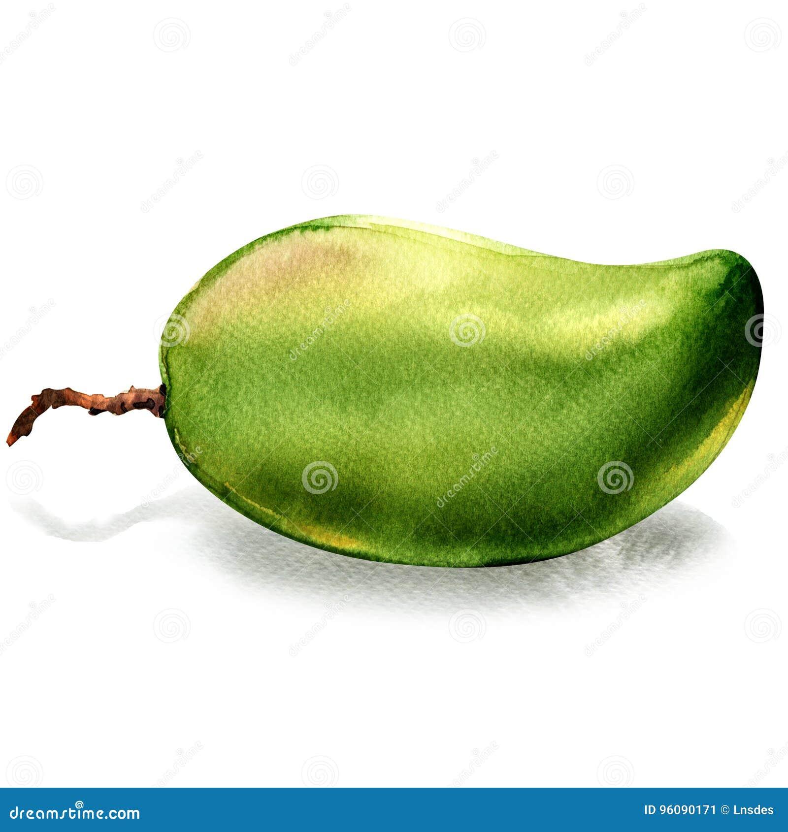 Fresh green mango whole fruit isolated, watercolor illustration on white