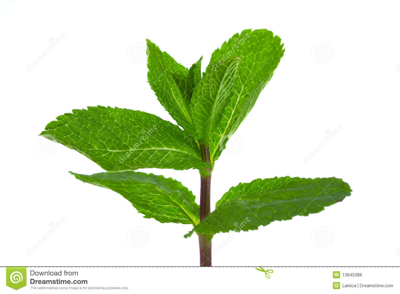 Fresh green mint royalty free stock image image 13845386 for Olive garden cape girardeau missouri