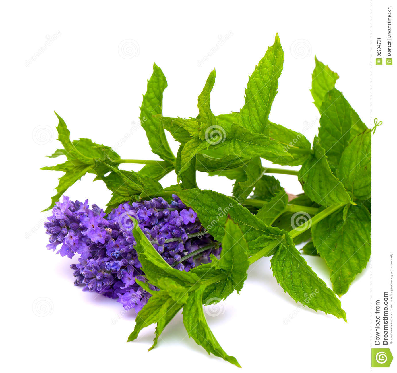 Fresh Green Mint And Lavender Stock Image - Image: 32794791