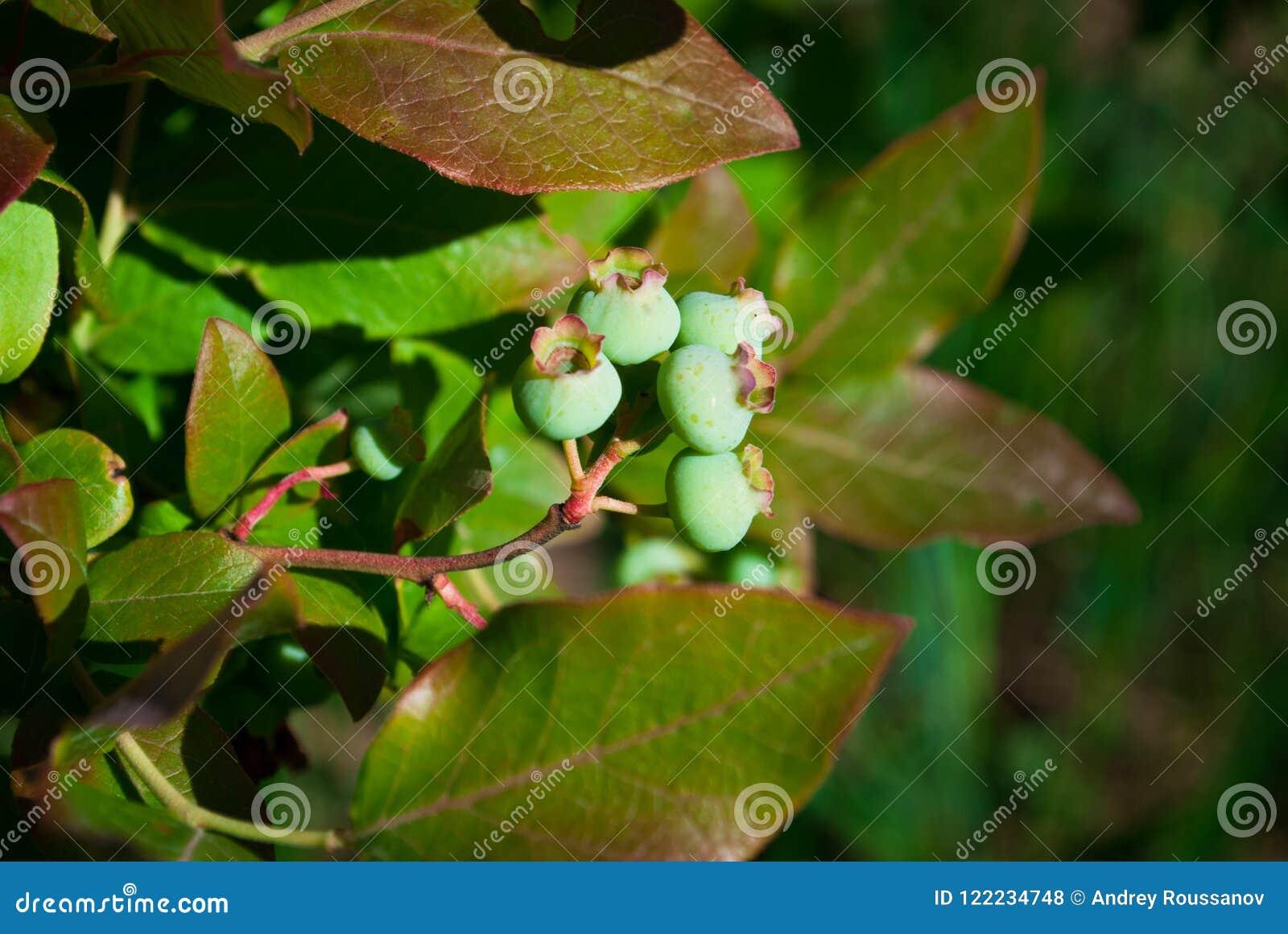 Fresh Green Organic Blueberries on the bush. close up