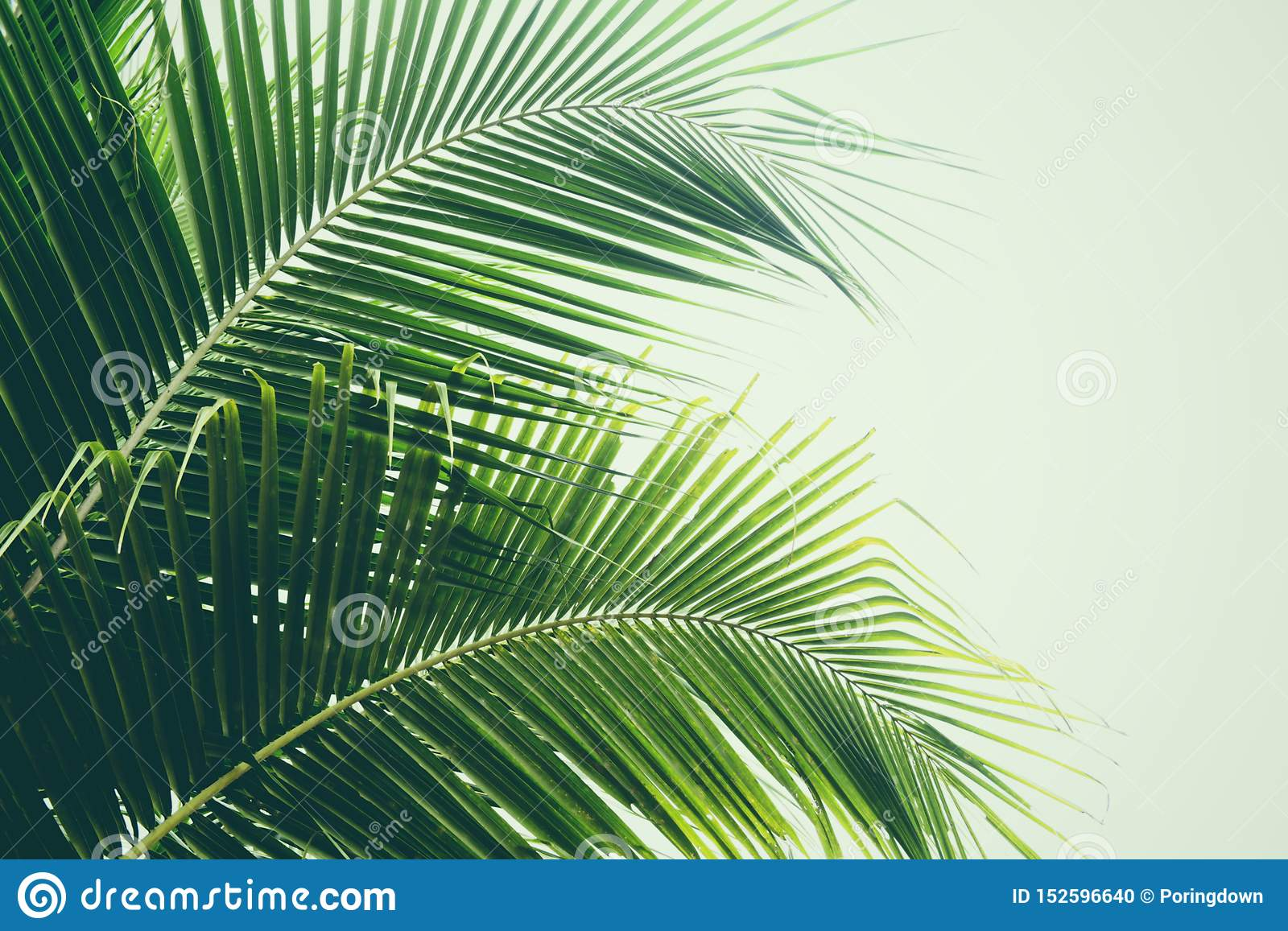 Fresh green palm leaf on coconut tree tropical plant leaves