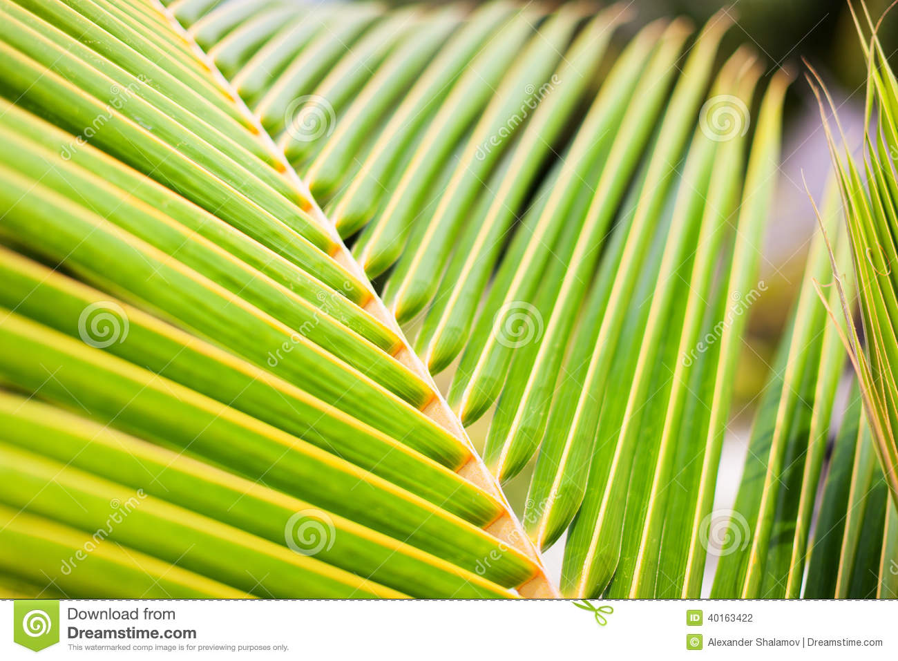 Fresh Green Palm Tree Leaves Stock Photo - Image of plant ...