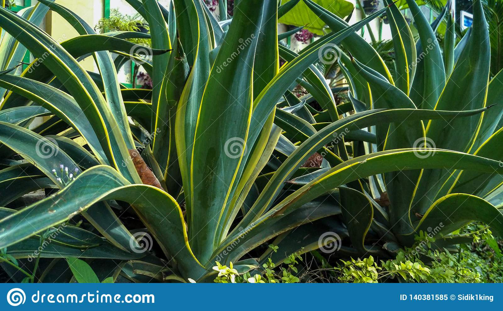 Fresh green leaves background texture, Agave Attenuate.