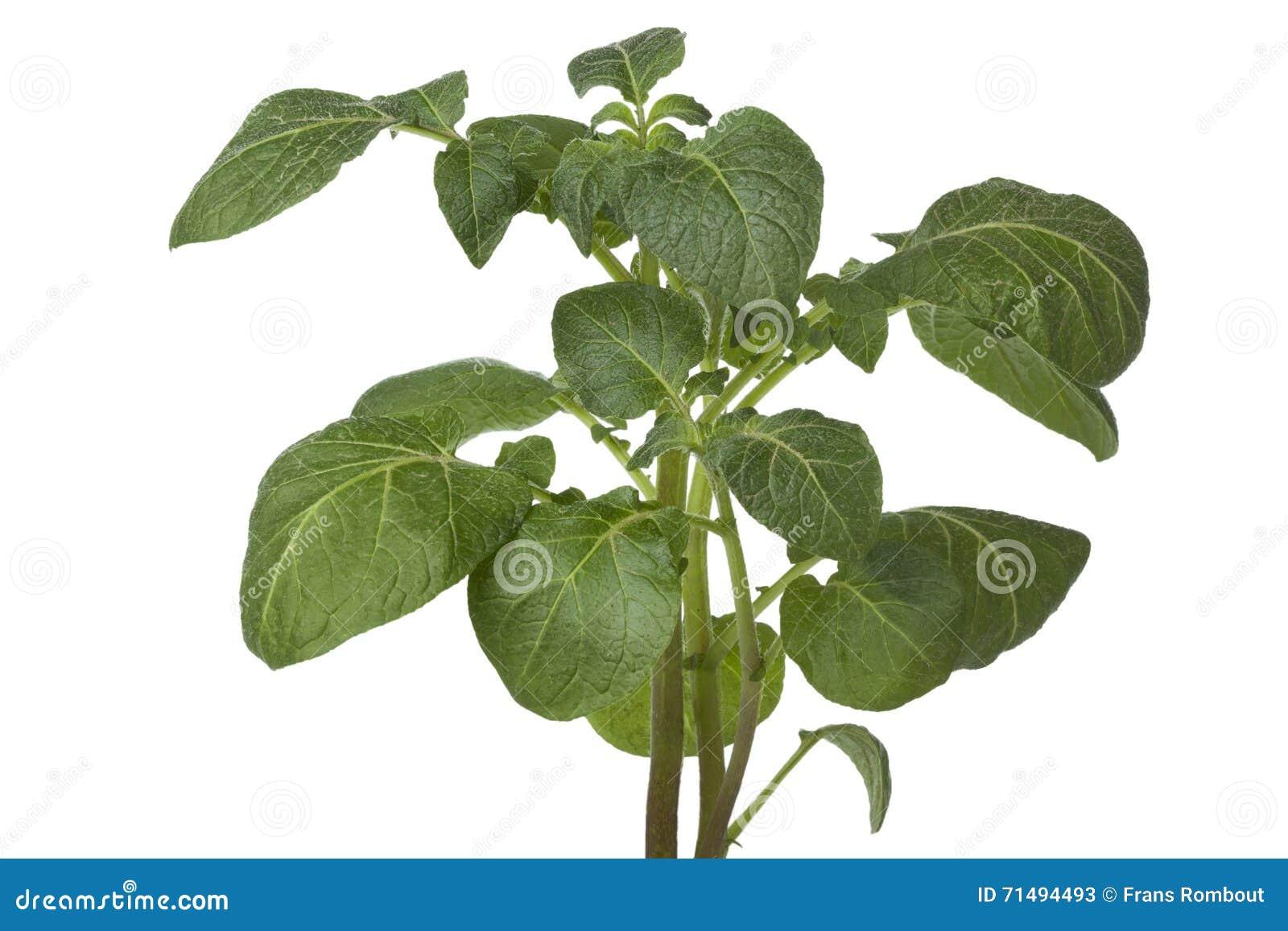 Download Fresh green potato plant stock image. Image of white - 71494493